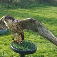Ring of Kerry Falconry Experience