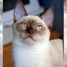Purfect Tonkinese Kittens & Cats