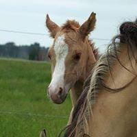SC Quarter Horses - New Zealand