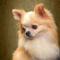 H&H Chihuahuas