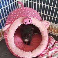 Pig Pen Hill- Mini Pigs