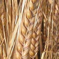 Barley Planet