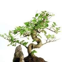 Bonsai Loh Online Shopping
