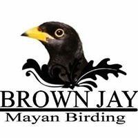Brown Jay Mayan Birding