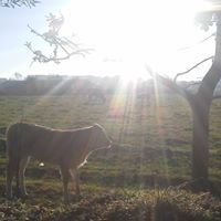 Blonde d'Aquitaine Hornlos Zucht Biohof Doppler