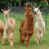 Magic Willows Alpacas