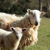 K & J Devon Lamb