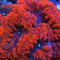 Ultimate Corals