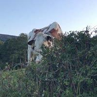 Bickleygate Holsteins