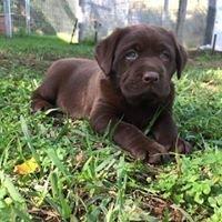 Chocolate Labradors Thornton