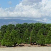 Fontana Pines Christmas Trees