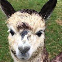 Cotswold alpacas