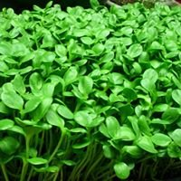 Derby Line Micro Greens