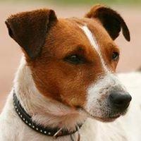 JRT Szczecin Jack Russell Terrier Spatium Kennel -spatium24.com