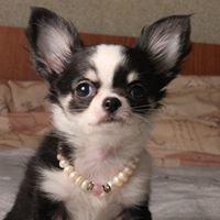 de'Grande Luxery Puppy