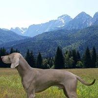Weimaraner nella cornice delle Alpi Giulie