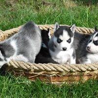 L'OMBRA DEL LUPO    Allevamento Siberian Husky