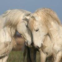 Cavalli Camargue - Isola della Cona