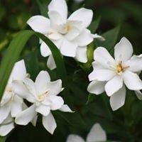 Gardenia saint julien