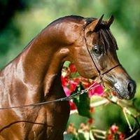 Clementine Arabians
