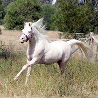 Sierra Lodge Coloured Arabians
