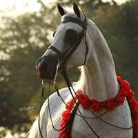 Country Affair Arabians
