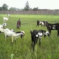 Mian Salman Cattle farm