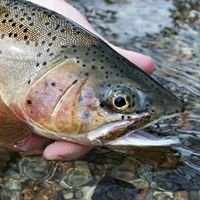 Chuck Stranahan's Flies and Guides