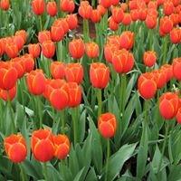 Especially Tulips