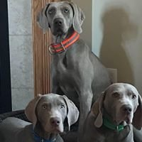 Sterling Silver Weimaraners