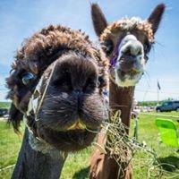 Alpaca-Llips Farm