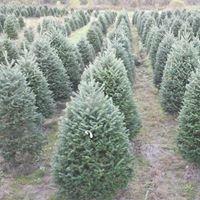 Sibgo Tree Company -Wholesale/Retail NH Christmas Trees