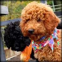Kents Hill Australian Labradoodles