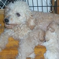 Mary's Labradoodles