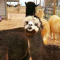 Betty Lou Farm Alpacas