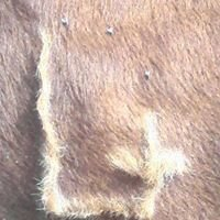 Steadfast Beef Genetics
