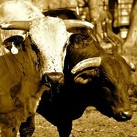 A Lazy J Rodeo Bulls