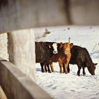 Till-Hill Cattle