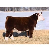 Jensen Show Cattle