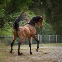Websters Arabians