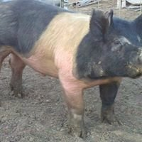 Vermillion Show Pigs