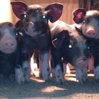 Roberts Family Show Pigs