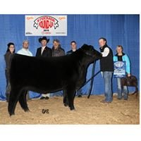 Piller Show Cattle