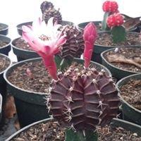 Vivero De Cactus Calobre- Panamá
