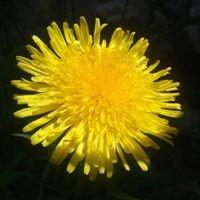 Dandelion's Apothecary