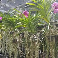 Green valley orchids inc