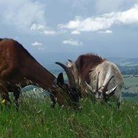 Chèvres d'Ecoteaux