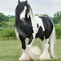 Lake Ridge Gypsy Vanner Horses