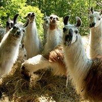 Les Lamas de la Montagne Noire