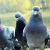 Feral Bird Management